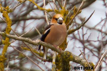 Hawfinch lyndford arboretum feb 2012